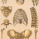 1906 HUMAN SKELETON LITHOGRAPH - original antique print -  human anatomy - medical anatomy print