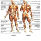 Organ and Muscle Correspondence