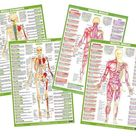 Muscle Anatomy Posters Bodybuilding Charts