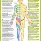 Nervous System Poster - Cutaneous Anterior