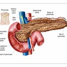 A1 Poster. Anatomy of pancreas