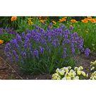 PROVEN WINNERS Sweet Romance Lavender (Lavandula) Live Plant, Blue-Purple Flowers, 0.65 Gal.-LAVPWP1037103 - The Home Depot
