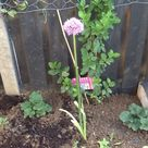A rescued allium from the sale bench of homebase Longford.