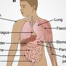 Scientists say they've discovered an unknown human organ that could help explain cancer