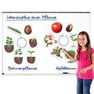 Lebenszyklus Apfel und Bohne magnetisch