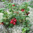Finnish cuisine - Wikipedia