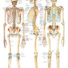 The Human Skeleton Laminated Anatomy Chart
