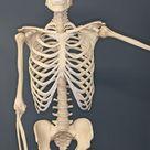 Human Skeleton   Human skeleton   Wikipedia