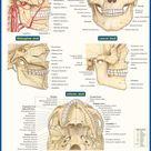 QuickStudy | Dental Anatomy Laminated Study Guide