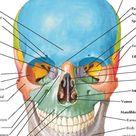 Skull: Anterior View Anatomy