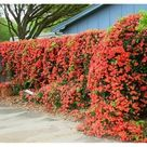 Privacy Fence Virginia Creeper/parthenocissus/ 20 Ft Climber 1st Year/Vigorous Fast Growing/Glossy Green Foliage/Scarlet In Fall/10 Seed