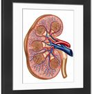 Framed Photo. Cross section of internal anatomy of kidney