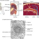 21.1 Anatomy of the Lymphatic and Immune Systems  - Anatomy and Physiology   OpenStax