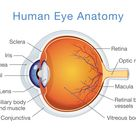 Here's How the Human Eye Works