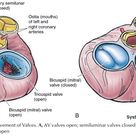 The Heart Structure and Function