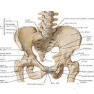 Bony Framework of Pelvis Anatomy