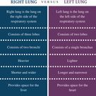 Difference Between Right and Left Lung   Definition, Location, Structure, Similarities