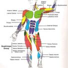Muscles Diagrams: Diagram of muscles and anatomy charts