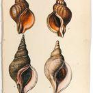 Sea Shells, Hand Colored Lithograph