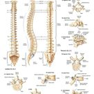 Anatomy of the Vertebrae and Vertebrae Types Laminated Wall Chart with Digital Download Code