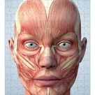 252 Piece Puzzle. Muscular system of the head