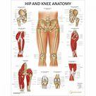 Hip and Knee Anatomy