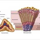 A1 Poster. Anatomy of adrenal gland, cross section