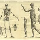 Photograph. Human Anatomy Skeleton and muscles of the body