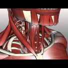 Neck Muscles Anatomy - Anterior Triangle - Part 2