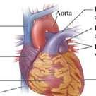 Heart Anatomy : Cardiac Chamber, Arterial Supply & Function