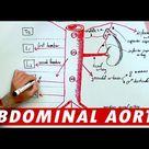 Anatomy - Abdominal Aorta Branches