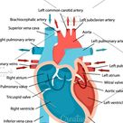Diagram of heart blood flow close-up