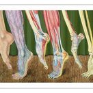 A1 Poster. Progressive dissection of leg, artwork