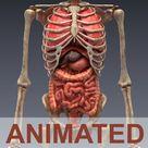 realistic human internal organs 3d model