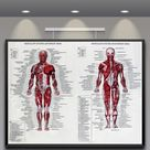 60x80cm Muscle System Posters Silk Cloth Anatomy Chart Human Body Educational Home Decor