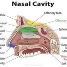 Nasal Cavity Definition, Anatomy, Functions, Diagrams