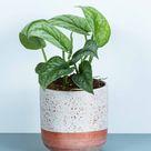 Satin Pothos - 4 inch pot