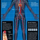 Circulatory System Facts, Function & Diseases