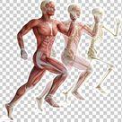 Skeletal Muscle Human Skeleton Muscular System Human Body PNG - Free Download