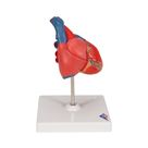 Classic Human Heart Model, 2 part - 3B Smart Anatomy