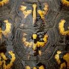 Tortoise Shell