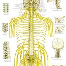 Chiropractic Spinal Nerves and Vertebral Subluxation Poster   Etsy