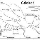 Cricket Printout