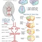 Brain Drain   Blood supply of the brain   maidoodles