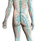 Diagram of human nervous system, posterior view. 1000 Piece Puzzle. Diagram of human nervous system, posterior view.