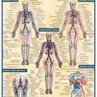QuickStudy   Circulatory System Advanced Laminated Study Guide