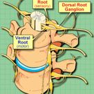 Innervation of Lumbar Facet Joints   The Pain Source   Makes Learning About Pain, Painless
