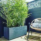 Bambus im Kübel Welche Pflege braucht die Sichtschutzpflanze