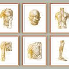 6 Anatomy gold posters, Labeled muscular system, Surgical anatomy, Human body muscles structure, Massage clinic wall decor, Doctor gift