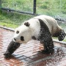 Playing It Cool Giant Panda Gets A Soaking In Sweltering